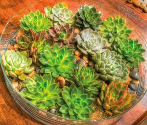 Low-profile glass dishes provide the perfect environment for succulents.