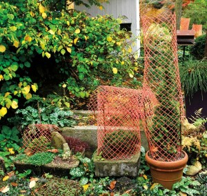 Caging can help to deter deer from devouring small specimens of conifers during cold-weather months.