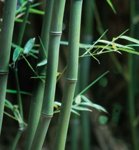 Eric professes that if you have an understanding of bamboo, it's relatively easy to tame and control. The process begins in the spring, when new shoots emerge.