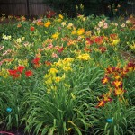 Michelle and Denise's backyard has been taken over by beds of colorful daylilies.