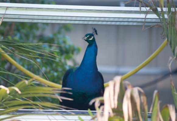 Frasier, a resident peacock, adds brilliant color to the backyard area.