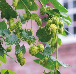 Kurt grows six varieties of hops on his property.
