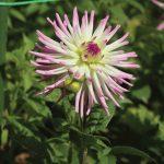 Dahlia, Dahlia spp.